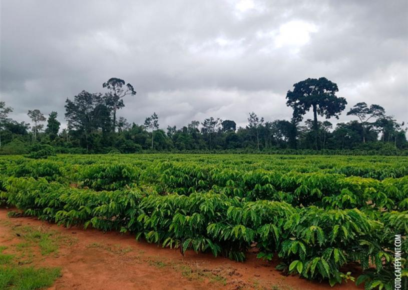 Áreas baixas e mato facilitam geada em cafezais